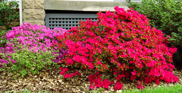 The house landscaping back yard - Front And Side Of The House Azaleas Lilac